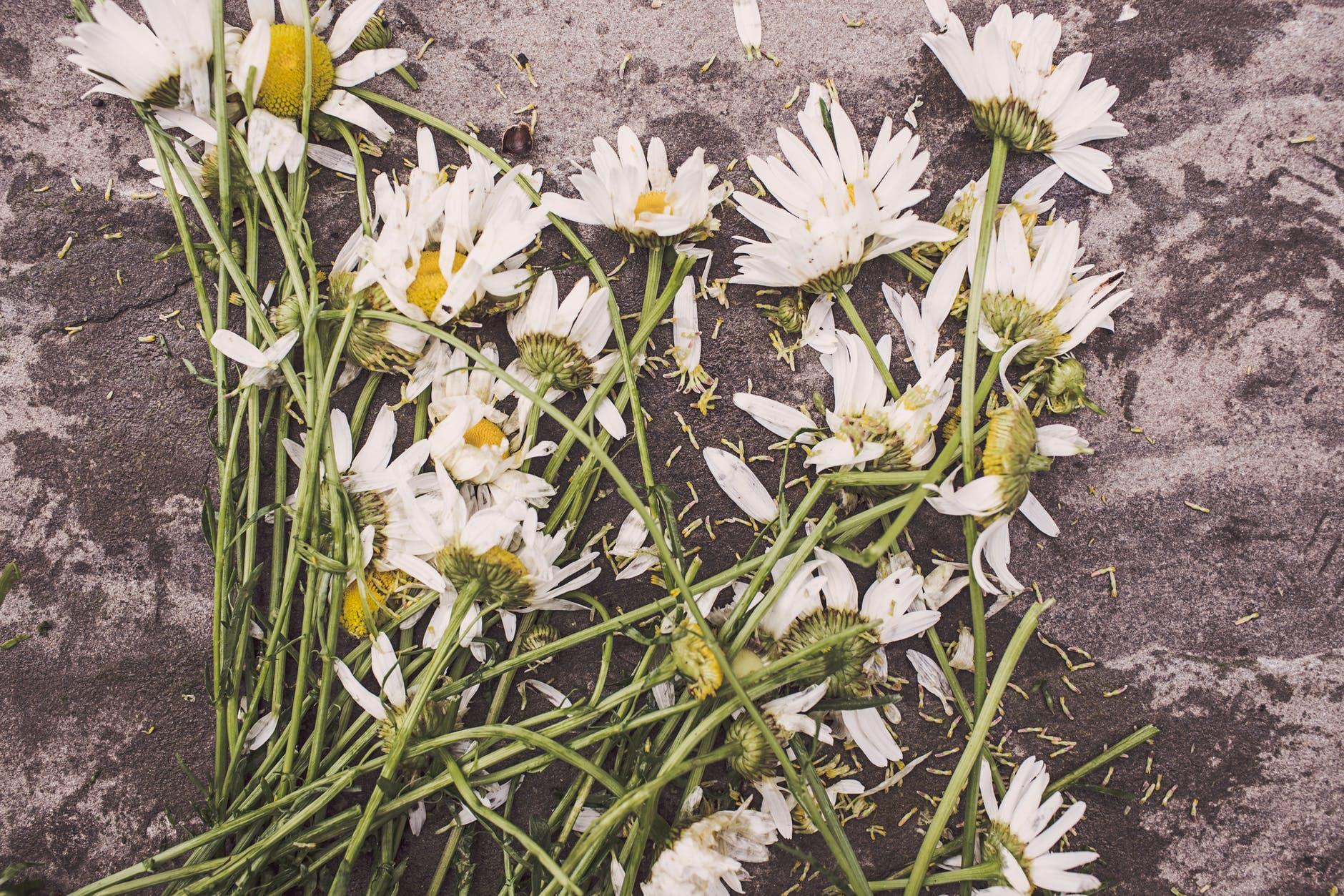 flowers marguerites destroyed dead